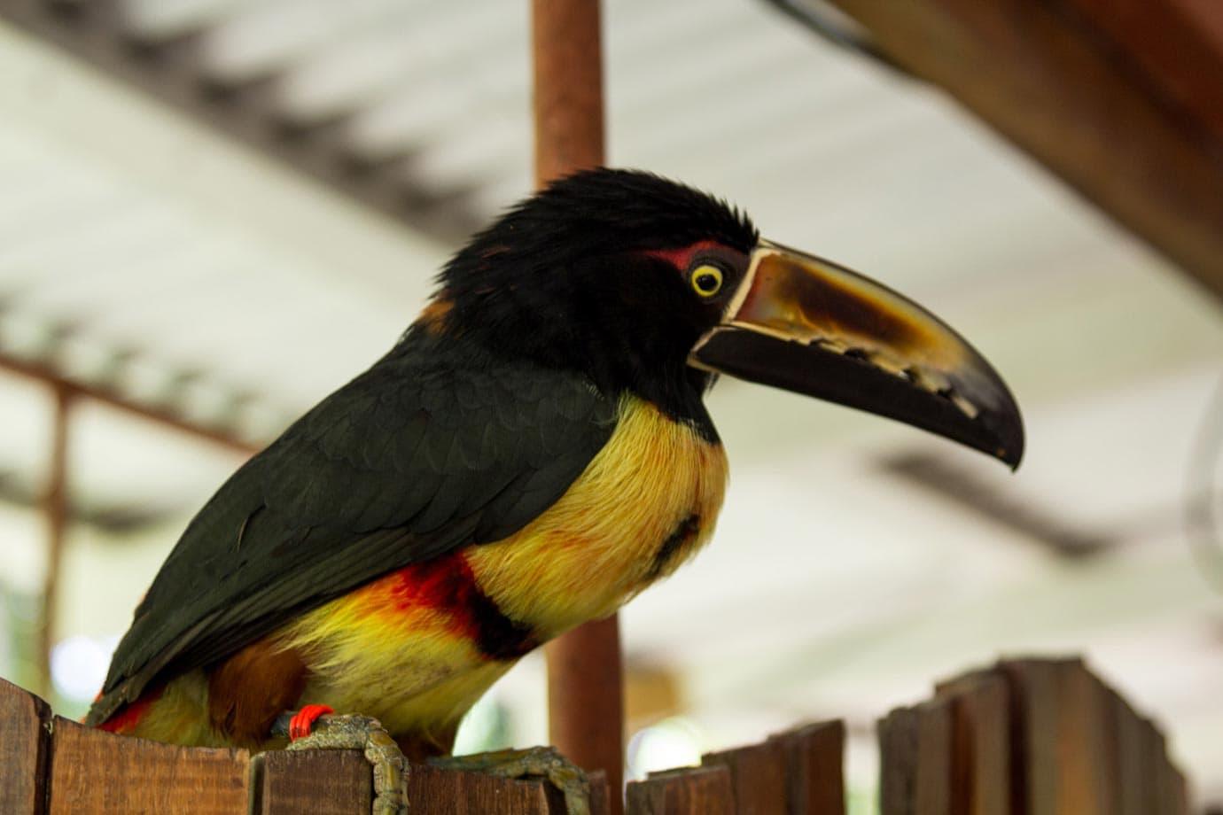 A toucan at the Jaguar Rescue Center