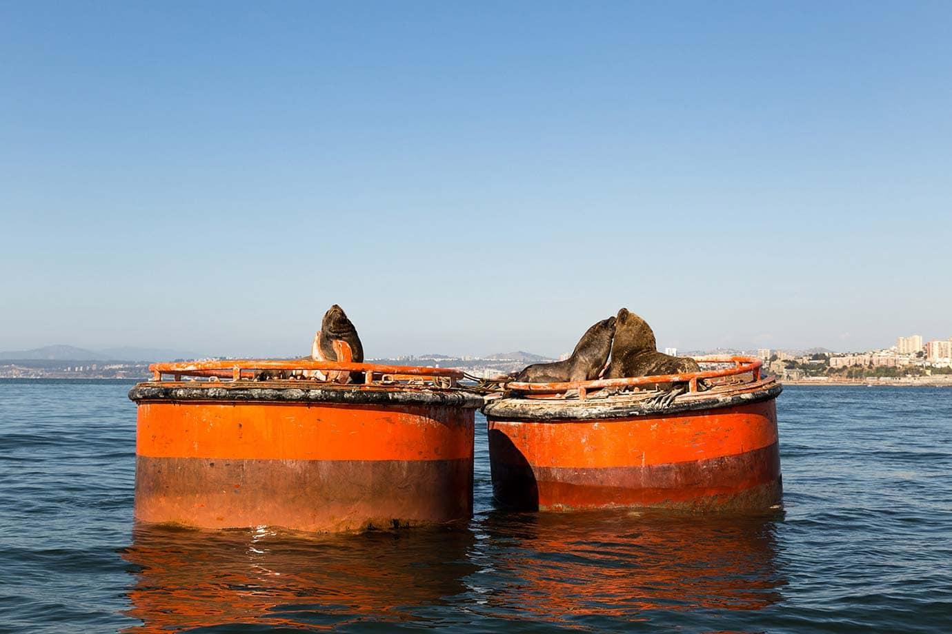 Sea lions in Valparaiso