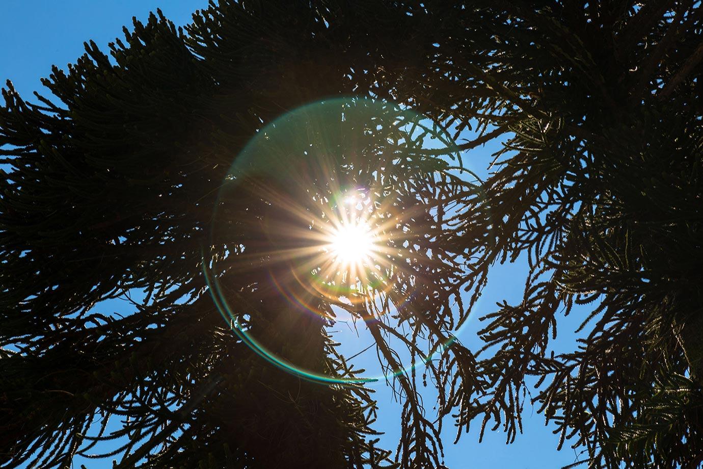 Light halo around a monkey puzzle tree