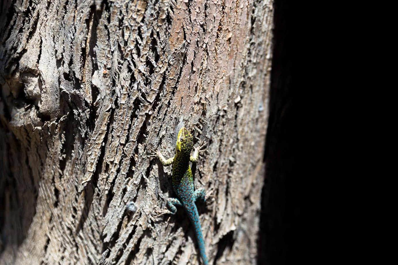 A lizard in Chile