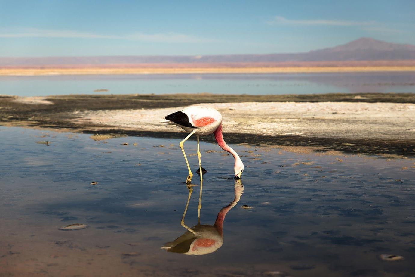 Pink flamingo at Chaxa Lagoon, Chile