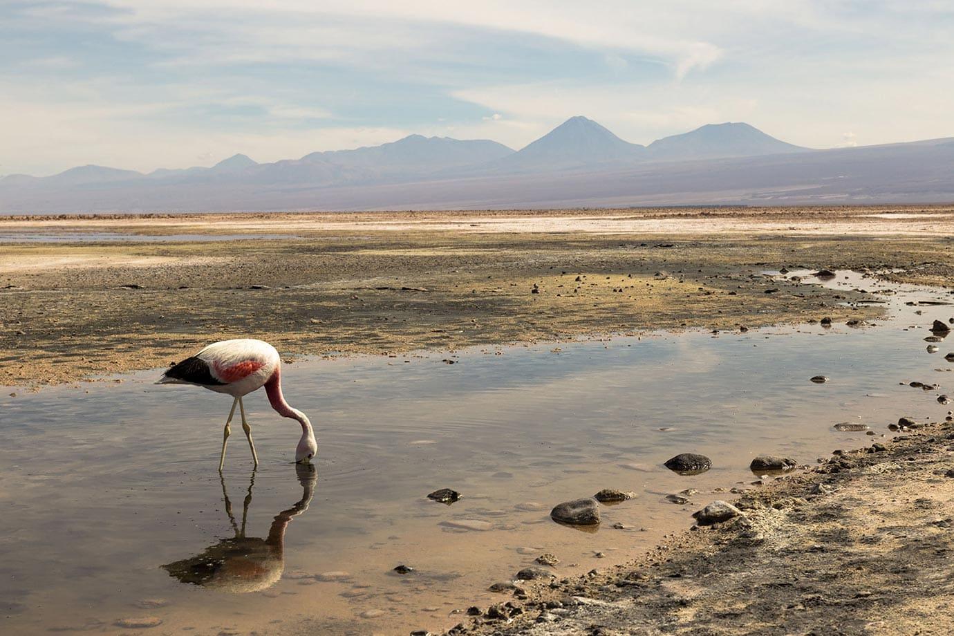 Mirror reflection of pink flamingo at Chaxa Lagoon, Chile