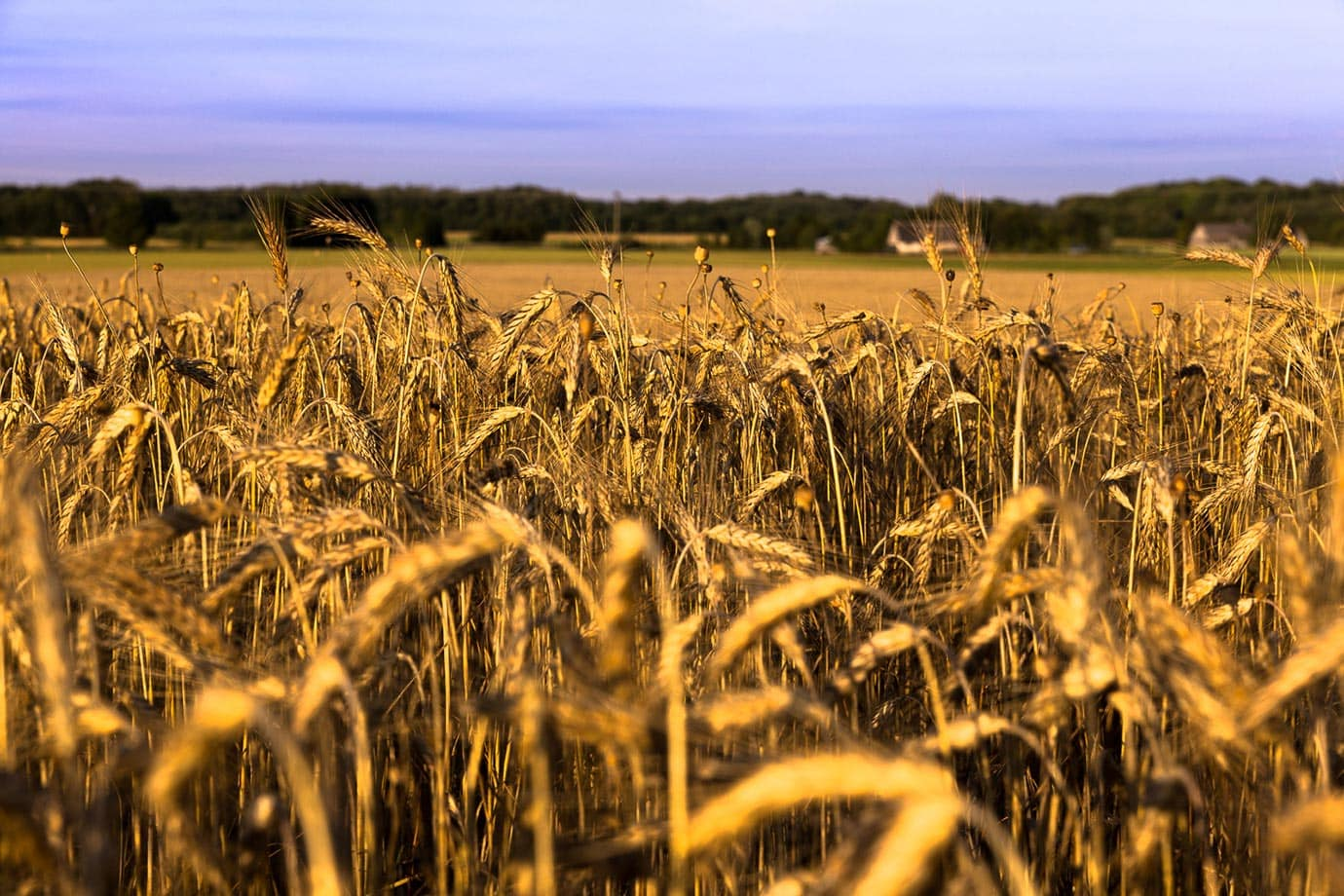 Wheat field in Estonia