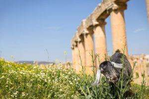 Goats at Jerash, Jordan