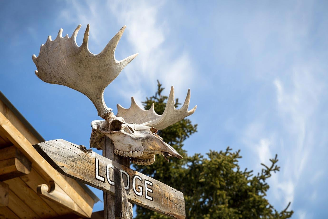 Moose head in Canada