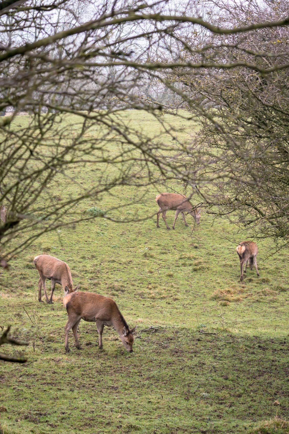 deer in the cotswolds