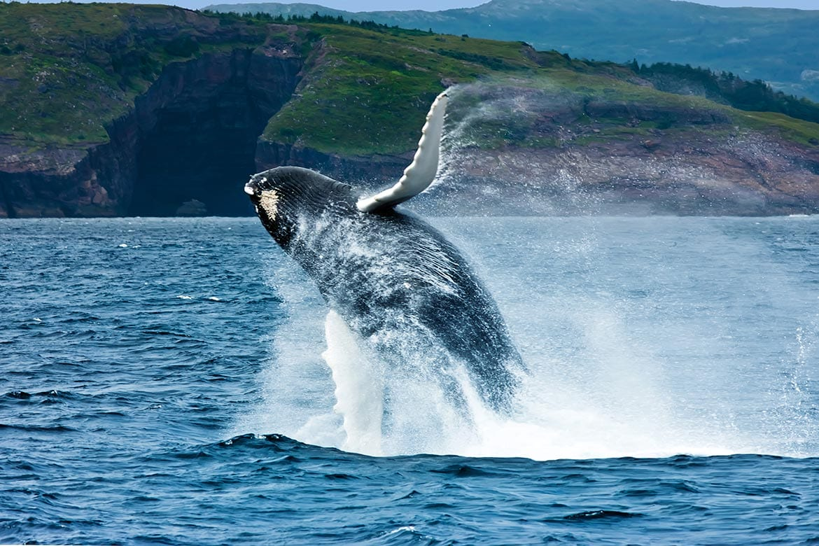 whale watching newfoundland and labrador