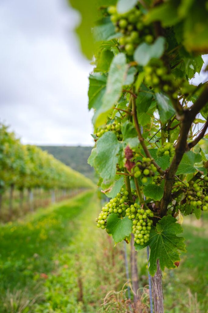 vineyards in england